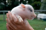 cute_pig06